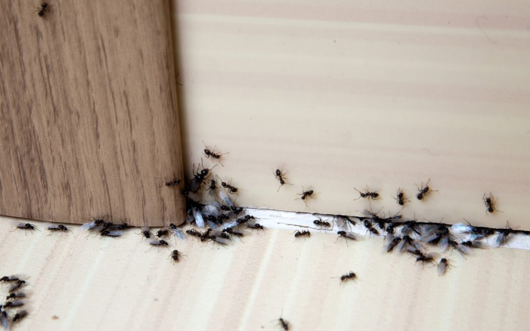 4 Ways to Get Rid of Ants in the House